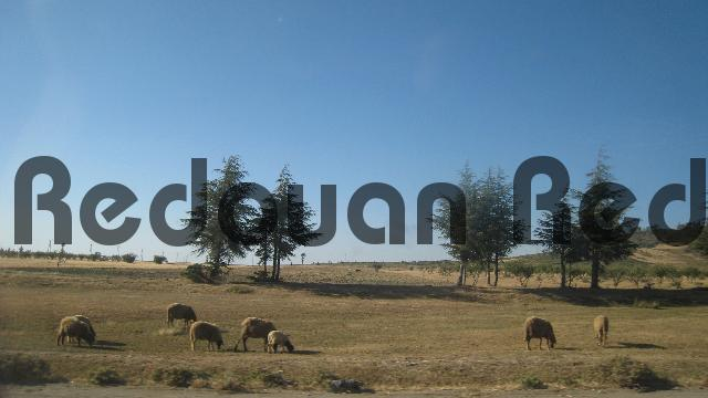 Product picture Grazing sheep on the hills in Morocco